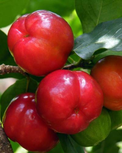 Detalhes do produto Muda de Acerola jaburu