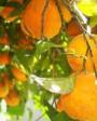 Mudas de Limão Cravo - Foto 1