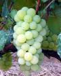 Muda de Uva niagara branca
