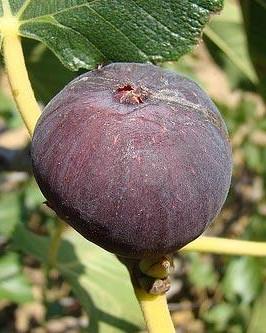 Muda de Figo roxo - Foto 2