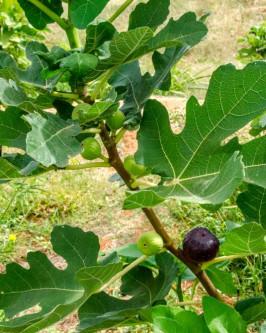 Muda de Figo roxo - Foto 3