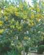 Muda de Acácia Mimosa  - Foto 1