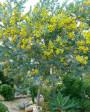 Muda de Acácia Mimosa  - Foto 3