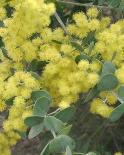 Detalhes do produto Muda de Acácia Mimosa