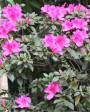 Muda de Azaléia Pink - Foto 1