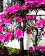 Muda de Azaléia Pink - Foto 3
