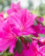 Muda de Azaléia Pink - Foto 5