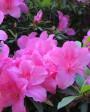 Muda de Azaléia Pink - Foto 6