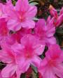 Muda de Azaléia Pink