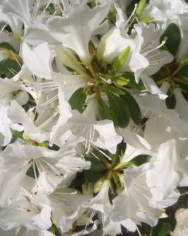 Muda de Azaléia Branca - Foto 3