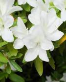 Detalhes do produto Muda de Azaléia Branca