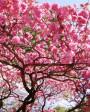 Muda de Cereja Flor Rosa - Foto 1
