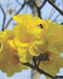 Muda de Ipê Amarelo - Foto 1