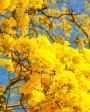 Muda de Ipê Amarelo - Foto 2