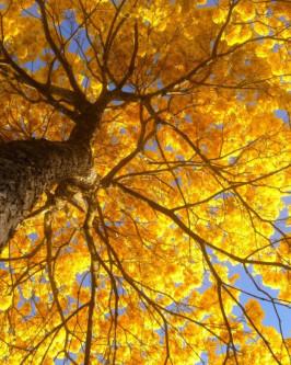 Muda de Ipê Amarelo - Foto 3
