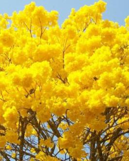 Muda de Ipê Amarelo - Foto 4