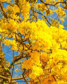 Muda de Ipê Amarelo