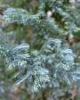 Muda de Cipreste Azul - Foto 4