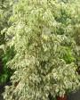 Muda de Ficus - Foto 1