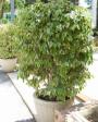 Muda de Ficus - Foto 2