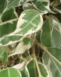 Muda de Ficus - Foto 4