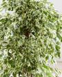 Muda de Ficus - Foto 5