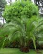 Muda de Palmeira Fênix - Foto 1
