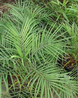 Muda de Palmeira Fênix - Foto 2