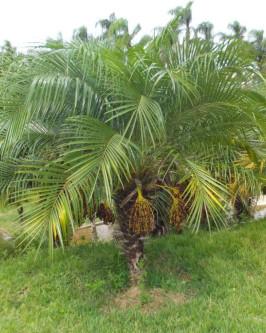 Muda de Palmeira Fênix - Foto 3