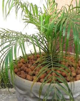 Muda de Palmeira Fênix - Foto 4