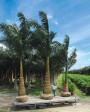 Muda de Palmeira Imperial - Foto 1