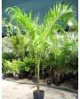 Muda de Palmeira Imperial - Foto 2