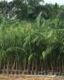 Muda de Palmeira Imperial - Foto 4