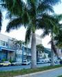 Muda de Palmeira Imperial - Foto 5