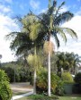 Muda de Palmeira Real (P) - Foto 1