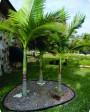 Muda de Palmeira Real (P) - Foto 2