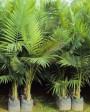 Muda de Palmeira Real (P) - Foto 3