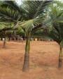 Muda de Palmeira Real (P) - Foto 4