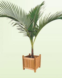Muda de Palmeira Real (P) - Foto 5