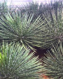 Muda de Agave Palito - Foto 5