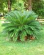Muda de Palmeira Cica - Foto 2
