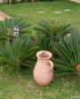 Muda de Palmeira Cica - Foto 3
