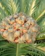 Muda de Palmeira Cica - Foto 4