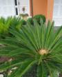 Muda de Palmeira Cica - Foto 5