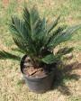 Muda de Palmeira Cica - Foto 6
