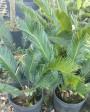 Muda de Palmeira Cica - Foto 8