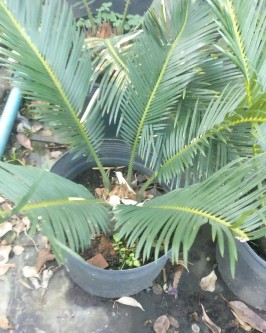Muda de Palmeira Cica - Foto 9