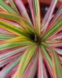 Muda de Dracena Tricolor - Foto 2