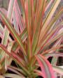Muda de Dracena Tricolor - Foto 4