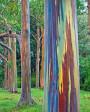 Muda de Eucalipto Arco-Iris - Foto 2